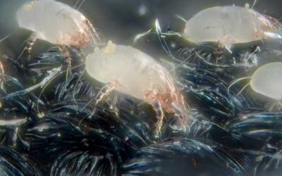 How to Eliminate Dust Mites on Your Wool Carpet